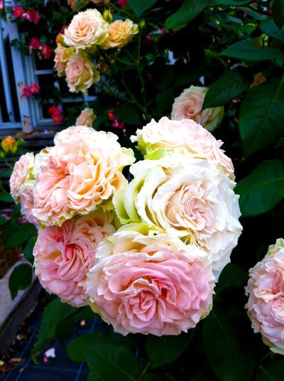 140528_RoseGarden2.jpg